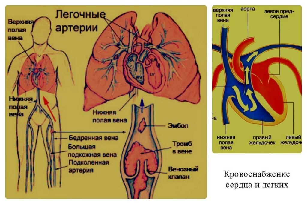 Кровоснабжение организма