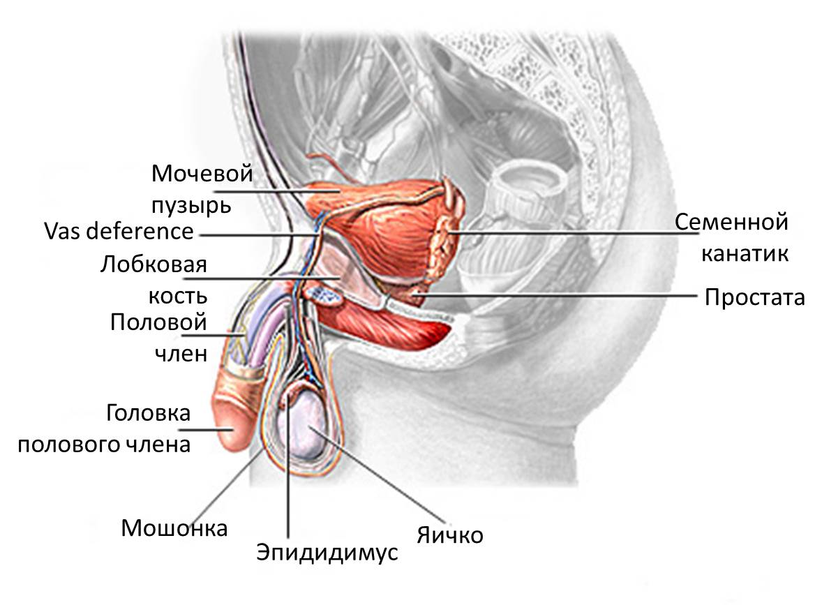 Male anatomy testicles