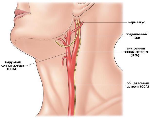 Брахиоцефальные артерии на шее