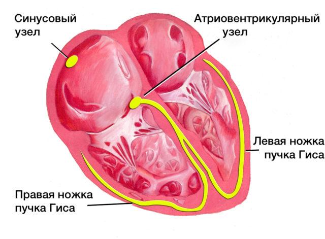 После выявления и подтверждения синусовой аритмии, не связанной с дыханием, перед врачом стоит следующая задача — определить, является ли данная аритмия транзиторным (преходящим) состоянием