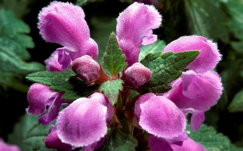 Яснотка пурпурная
