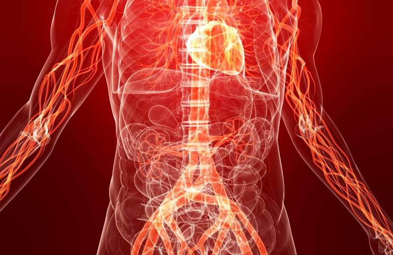 Система кровообращения человека