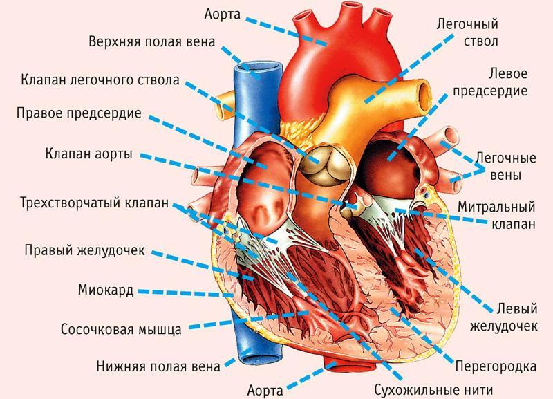 Строение сердца