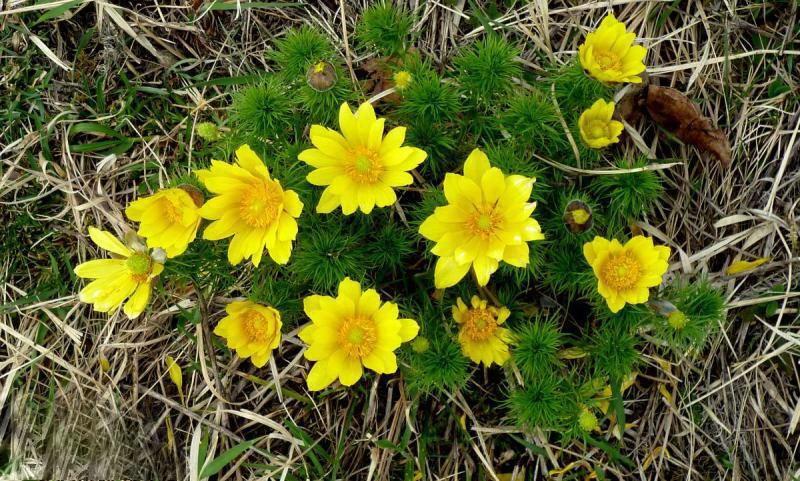 Цветущий горный адонис