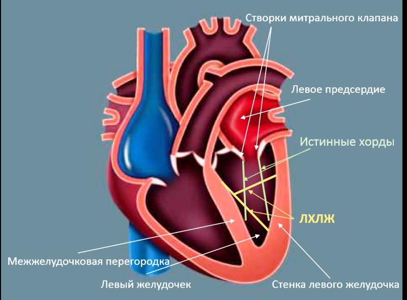 Расположение левого желудочка сердца