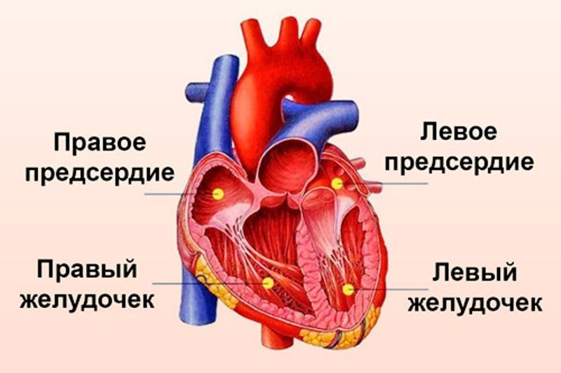 Расположение левого желудочка