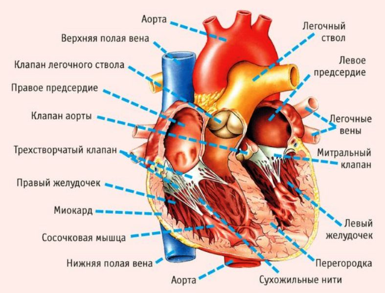 Строение сердца и расположение желудочков