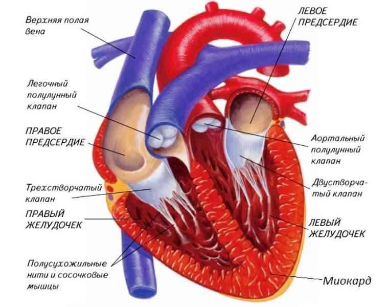 Строение сердца и расположение миокарда