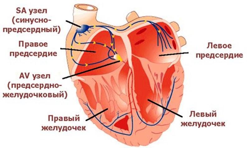 Сердечная проводящая система
