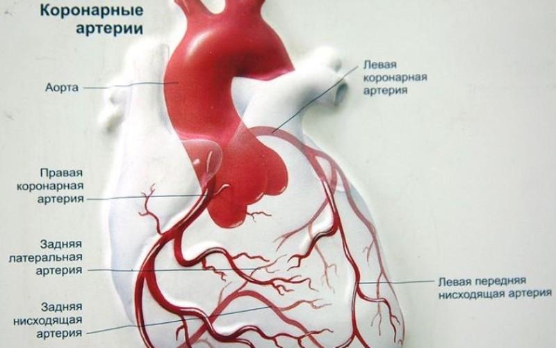 Расположение коронарных артерий