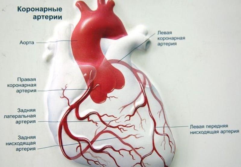 Расположение артерий